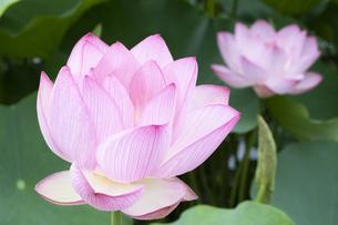 ハスの花の写真素材 [FYI04810983]