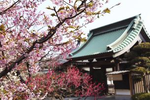 鎌倉の長谷寺の河津桜と紅梅と山門の写真素材 [FYI04811056]