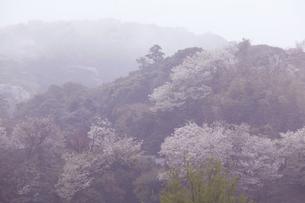 北鎌倉の山の桜と霧の写真素材 [FYI04811061]