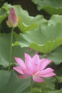 鎌倉の源平池のハスの写真素材 [FYI04811065]