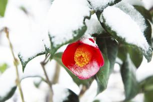 鎌倉の寺 の雪と椿の写真素材 [FYI04811075]