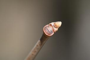 カキノキの冬芽の写真素材 [FYI04811187]