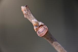 カキノキの冬芽の写真素材 [FYI04811188]