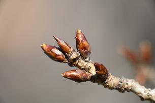 シダレザクラの冬芽の写真素材 [FYI04811190]