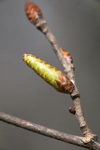 アカシデの冬芽の写真素材 [FYI04811191]