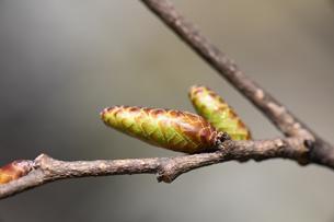 アカシデの冬芽の写真素材 [FYI04811193]