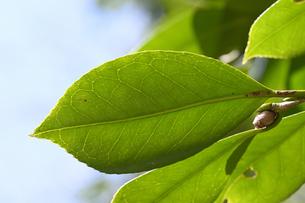 ツバキの葉の写真素材 [FYI04811198]