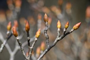 ドウダンツツジの冬芽の写真素材 [FYI04811203]