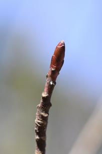 ミズキの冬芽の写真素材 [FYI04811211]