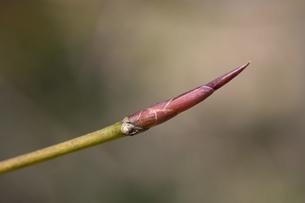 イヌブナの冬芽の写真素材 [FYI04811212]