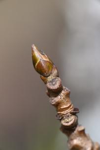 モミジバフウの冬芽の写真素材 [FYI04811219]