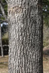 モミジバフウの樹皮の写真素材 [FYI04811221]