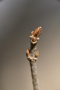 トウカエデの冬芽の写真素材 [FYI04811224]
