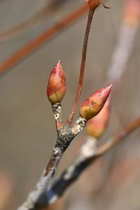 ドウダンツツジの冬芽の写真素材 [FYI04811233]