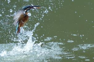 カワセミの狩りの写真素材 [FYI04811297]