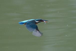 カワセミの飛翔の写真素材 [FYI04811298]