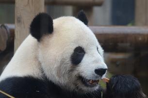 ジャイアントパンダの写真素材 [FYI04811382]