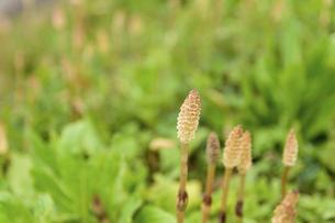 つくしんぼ うららかな春の季節の写真素材 [FYI04812061]