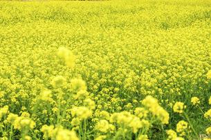 菜の花畑 うららかな春の季節 パノラマ風景の写真素材 [FYI04812070]