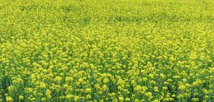 菜の花畑 うららかな春の季節 パノラマ風景の写真素材 [FYI04812084]