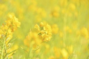 菜の花畑の写真素材 [FYI04812117]