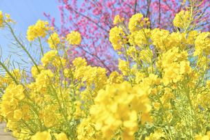 菜の花(桜のボケ背景)の写真素材 [FYI04812118]