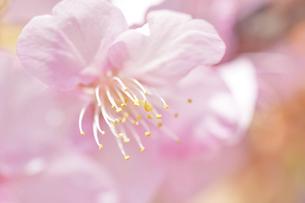 早咲きの河津桜クローズアップの写真素材 [FYI04812119]