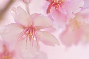 早咲きの河津桜クローズアップの写真素材 [FYI04812120]