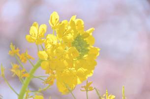 菜の花(桜のボケ背景)の写真素材 [FYI04812125]