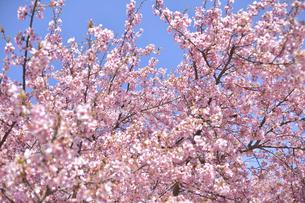 満開の河津桜の写真素材 [FYI04812126]