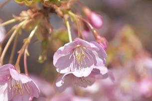 早咲きの河津桜クローズアップの写真素材 [FYI04812127]