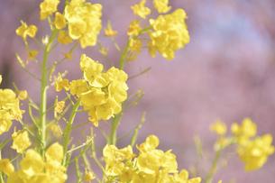 菜の花(桜のボケ背景)の写真素材 [FYI04812128]