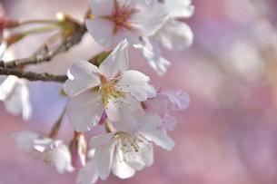 早咲きの河津桜クローズアップの写真素材 [FYI04812129]
