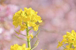菜の花(桜のボケ背景)の写真素材 [FYI04812130]