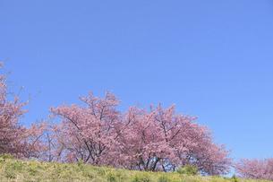 菜の花の土手に咲く河津桜の写真素材 [FYI04812150]