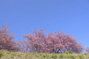 菜の花の土手に咲く河津桜の写真素材 [FYI04812151]