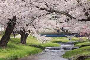 観音寺川の桜の写真素材 [FYI04812259]