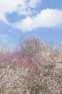 梅の写真素材 [FYI04812493]