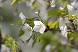 桜の写真素材 [FYI04812698]
