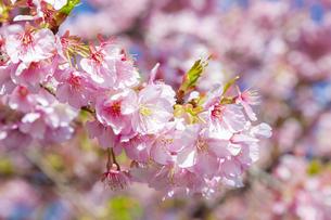 満開の河津桜(南伊豆)の写真素材 [FYI04812787]
