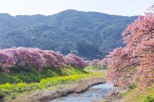 【静岡県】南伊豆町 河津桜と菜の花の競演の写真素材 [FYI04812791]