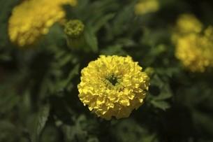 マリーゴールド・黄色の花の写真素材 [FYI04812818]