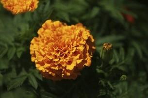 マリーゴールド・オレンジ色の花の写真素材 [FYI04812819]