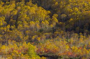 焼岳中腹から麓を眺めた紅葉の風景の写真素材 [FYI04812852]