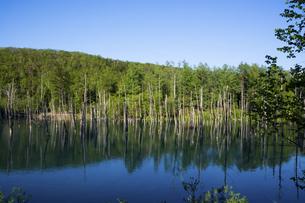 春の新緑の山を映す青い池の水面 美瑛町の写真素材 [FYI04812871]