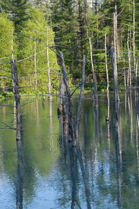 新緑の森を映す青い池の水面 美瑛町の写真素材 [FYI04812874]