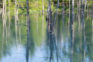 新緑の木々を映す青い池の水面 美瑛町の写真素材 [FYI04812875]