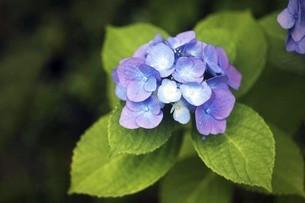 色変わりするアジサイの花の写真素材 [FYI04812877]