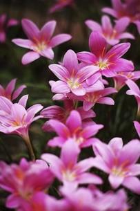 真夏に咲くハブランサスの花の写真素材 [FYI04812881]