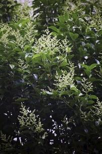 トウネズミモチの開花の写真素材 [FYI04812883]